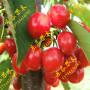 佳红樱桃 拉宾斯樱桃苗种植基地