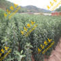 大紫樱桃树苗产地价格技术指导