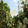 常州梨树苗培育 伏阳梨树苗哪家好
