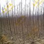资讯:成都巴梨梨树苗新品种