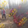 井上李子苗几月份可以种专业提供优质果树苗