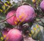 圣玫瑰李子树苗栽培方式果树苗供应信息
