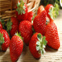 出售草莓苗,静宝脱毒草莓苗-太空2008草莓苗