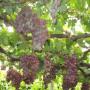 葡萄苗 南方種植-黑瑰香葡萄苗價格@詳情點擊查詢