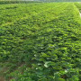 资讯焦点】二代脱毒春旭草莓苗批发报价--亩产量卓越