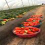 新闻焦点】地栽红玉草莓苗价格--公司赠送技术