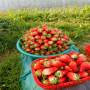 新闻焦点】地栽香蕉草莓苗批发价格--适应性广