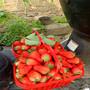 今日頭條:圣安德瑞斯草莓苗哪里有公司贈送技術