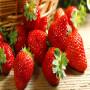 今日頭條:寶交草莓苗基地〔產地直銷〕