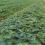 大棚女峰草莓苗供應商 @樂都縣今日資訊