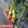 新闻焦点】二代脱毒哈尼草莓苗介绍--〔产地直销〕