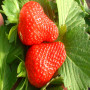 新闻焦点】二代脱毒美六草莓苗哪里有--股份@有限公司
