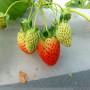 资讯焦点】二代脱毒童子一号草莓苗哪里有--股份@有限企业