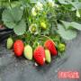 新闻焦点】二代脱毒硕蜜草莓苗哪里有--亩产量卓越