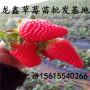 供应太空2008草莓苗哪里有卖的、太空2008草莓苗新品种
