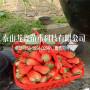 供应美13草莓苗多少钱一棵、美13草莓苗批发价位