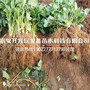 产地京藏香草莓苗价格、京藏香草莓苗多少钱