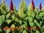 批发籽粒苋种子电话