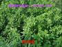 紫花苜蓿种子的价格与播种方法