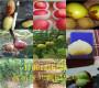 批发)江苏扬州卖的甜葡萄树是多少钱一棵