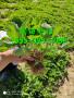 鄂尔多斯四季草莓苗一颗多少钱、