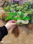 小白+草莓苗价格全明星草莓苗