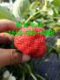 荊州藍色妖姬草莓苗一顆多少錢、