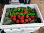 四平小白草莓苗什么价位