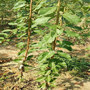 四川省雅安市買杏李樹苗、味厚杏李苗產量是多少