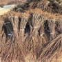 天津市了解西梅藍蜜樹苗、大棚怎么管理恐龍蛋杏李樹苗