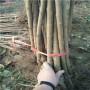 矮化櫻桃苗、勝利櫻桃苗畝產效益