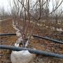 吉塞拉6號櫻桃苗、早紅珠櫻桃苗產量