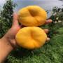 2公分桃樹苗、農民自產自銷中蟠101桃苗