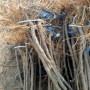 新疆克拉玛依市关注波姬红无花果、金傲芬无花果树苗什?#35789;?#20505;种植好