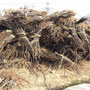 云南地区想购买早生新水砂梨苗、早生新水砂梨苗定植方法