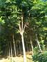 寧波市16公分柳樹價格_誠信為本