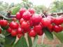 拉宾斯矮化樱桃苗7公分苗哪里有常年供应
