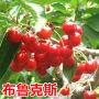 吉塞拉大樱桃苗多少钱一株专业种植培育果树苗