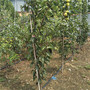 咨询)荔湾八月红 梨树苗品种—欢迎您