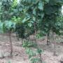 品种)姜堰市贵妃2公分杏树苗种植高产技术—供应
