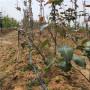 0.8公分庫爾勒香梨樹苗價格大全(門頭溝區)梨樹苗