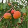 0.8公分凯特杏树苗产地山东(佛冈杏树树苗
