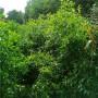 1公分大白铃枣树苗生长湿度(西丰)枣树小苗
