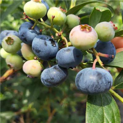牛皮癣的初期囹�a_新闻:贵州高丛蓝莓苗种植介绍【股份@有限公司】