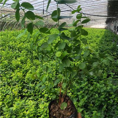 2022價格表 浙江北高中熟品種藍莓苗成活率高