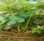 新闻:内蒙古呼伦贝尔草莓苗种植季节