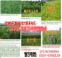 吉林通化市早熟禾草坪种子价格