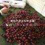 矮化美國紅櫻桃苗出售