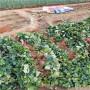大棚达娜草莓苗每日价格