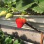 山東麥特萊草莓苗出售價格